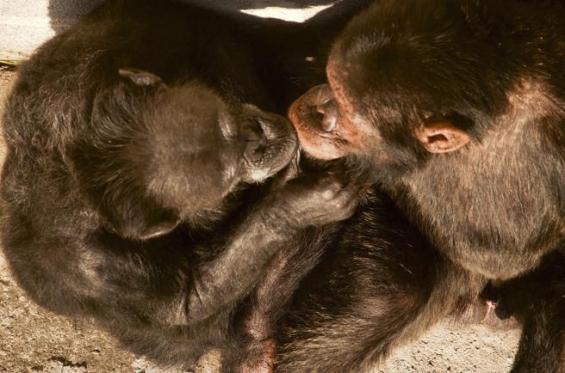 Brasil: Cecilia, la primera chimpancé liberada por orden judicial, tiene nuevo compañero
