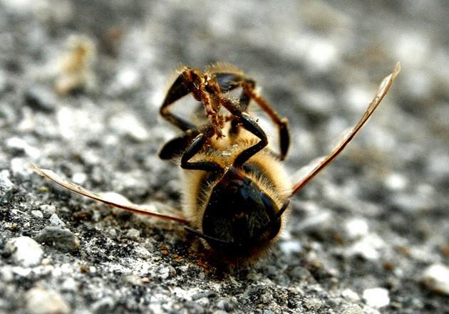 Los plaguicidas vuelven a masacrar a las abejas de Mazarrón