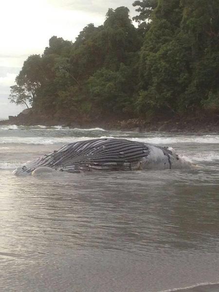 Costa Rica: Ya enterraron a la ballena que apareció muerta en Quepos