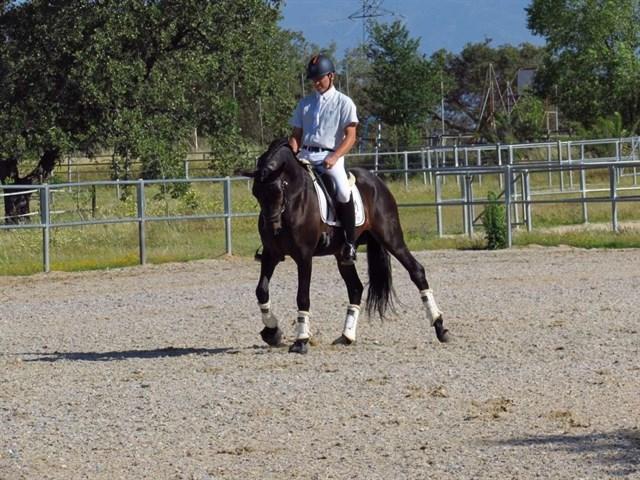 Realizan pruebas de selección de caballos de pura raza española en Navalmoral de la Mata
