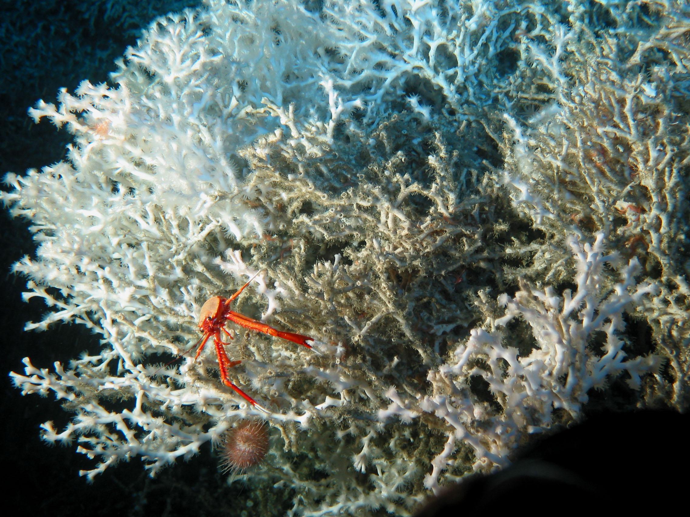 ¿Hallazgo?:Gran arrecife de coral en el mediterráneo