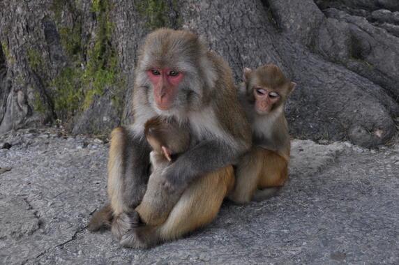 Los macacos producen diferentes tipos de leche para bebés machos o hembras
