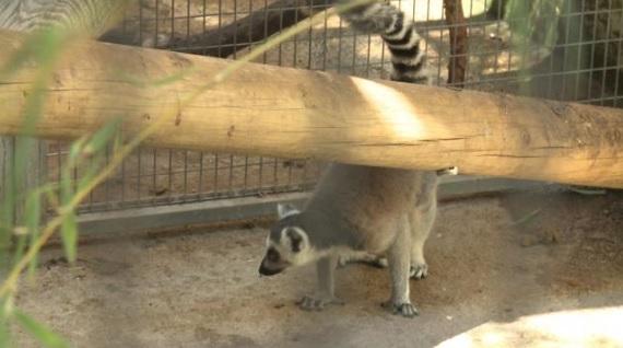 Un lemur en peligro de extinción encontrado en la calle en València, nuevo inquilino del Bioparc