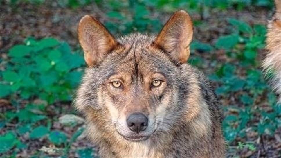 Equo reclama en el Congreso un paso de fauna en la A-1 para acabar los atropellos de lobos ibéricos