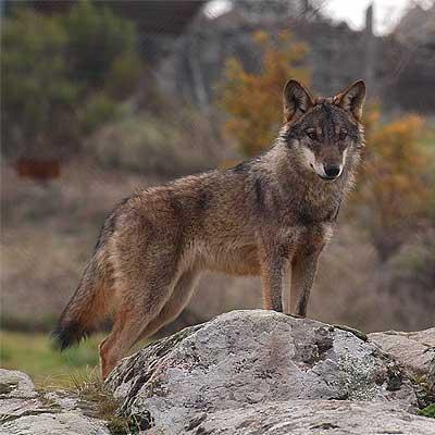 Quieren que el lobo sea declarada especie cinegética en toda la Comunidad de Castilla y León