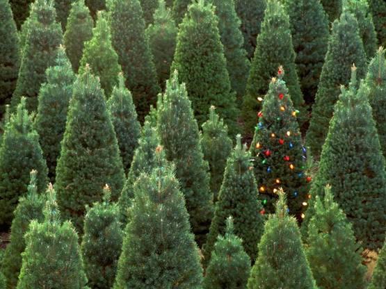 Árboles navideños naturales 'más sostenibles' que los artificiales