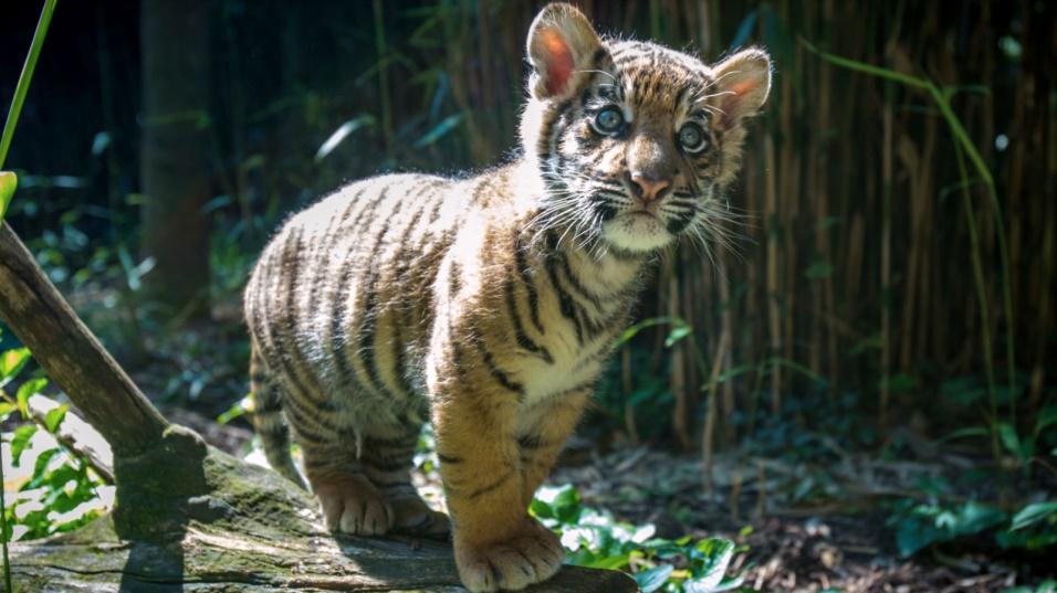 El cachorro de tigre decomisado en la frontera tendrá nuevo compañero en el Zoológico de San Diego