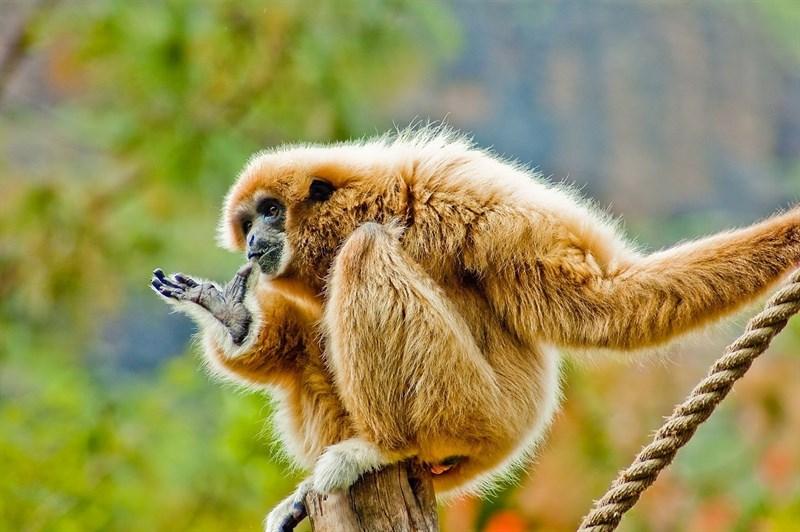El último antepasado común de simios y humanos era como un gibón