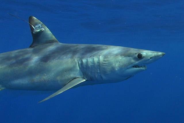 Shark League exige prohibir las retenciones de tiburón mako en el Atlántico para ayudar a su conservación