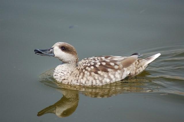 Avistan un pato en peligro crítico de extinción, en las islas flotantes en la depuradora de Cabezo de Beaza (Cartagena)