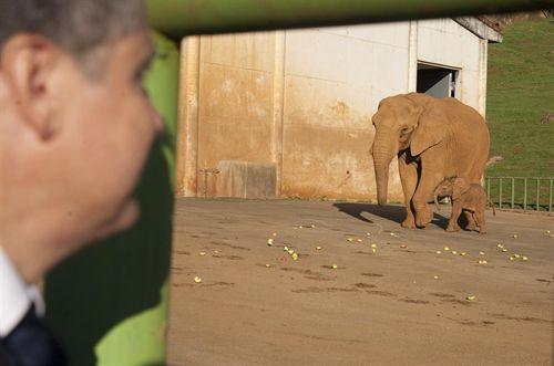 Cabárceno (Cantabria), el parque con mayor número de elefantes africanos nacidos en cautividad del mundo