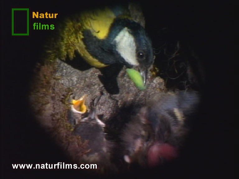 Los Páridos son pequeñas aves que limpian nuestros bosques de los molestos insectos