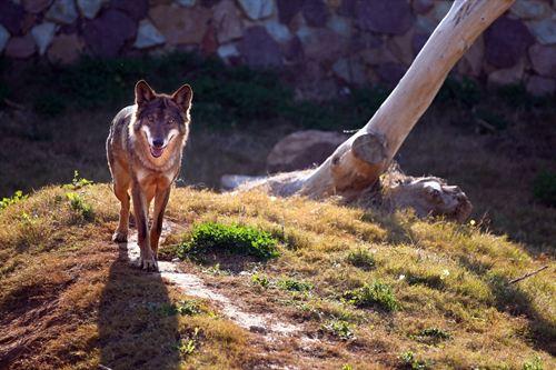 Los lobos aúllan porque se preocupan por los ausentes