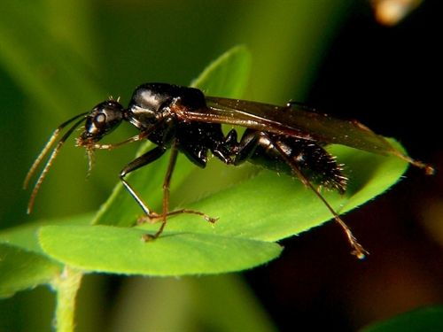 Descubren hormigas zombi
