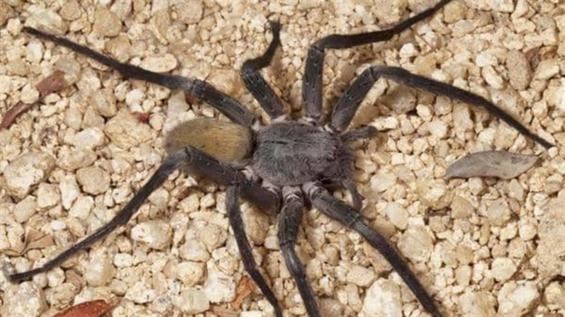 México. Descubren una nueva especie de araña que puede medir hasta 10 centímetros