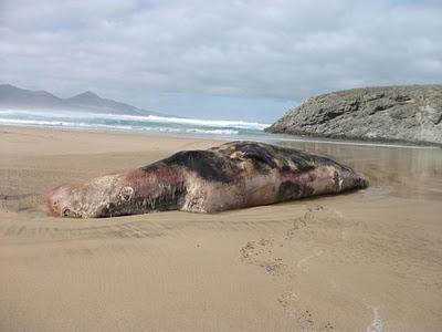 Aparece muerto un cachalote de 9 metros junto al Islote de Cofete (Fuerteventura)