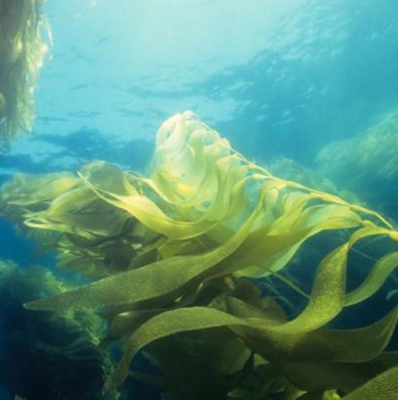 Logran fabricar biodiésel a partir del cultivo de algas marinas