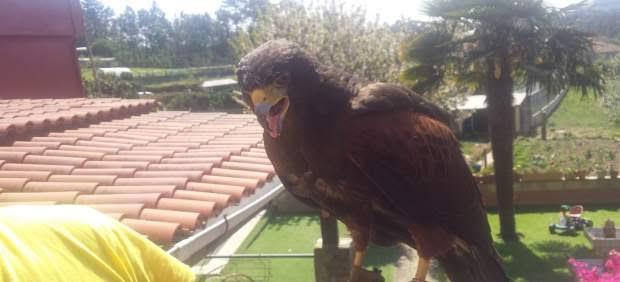 Capturan en Vigo a un águila que mató a varias gallinas y un gallo
