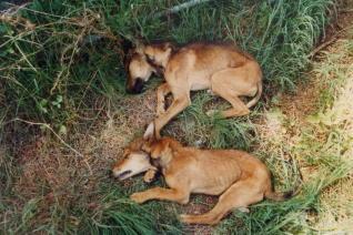 Agentes forestales piden a los veterinarios que les avisen si llegan animales envenenados a sus clínicas