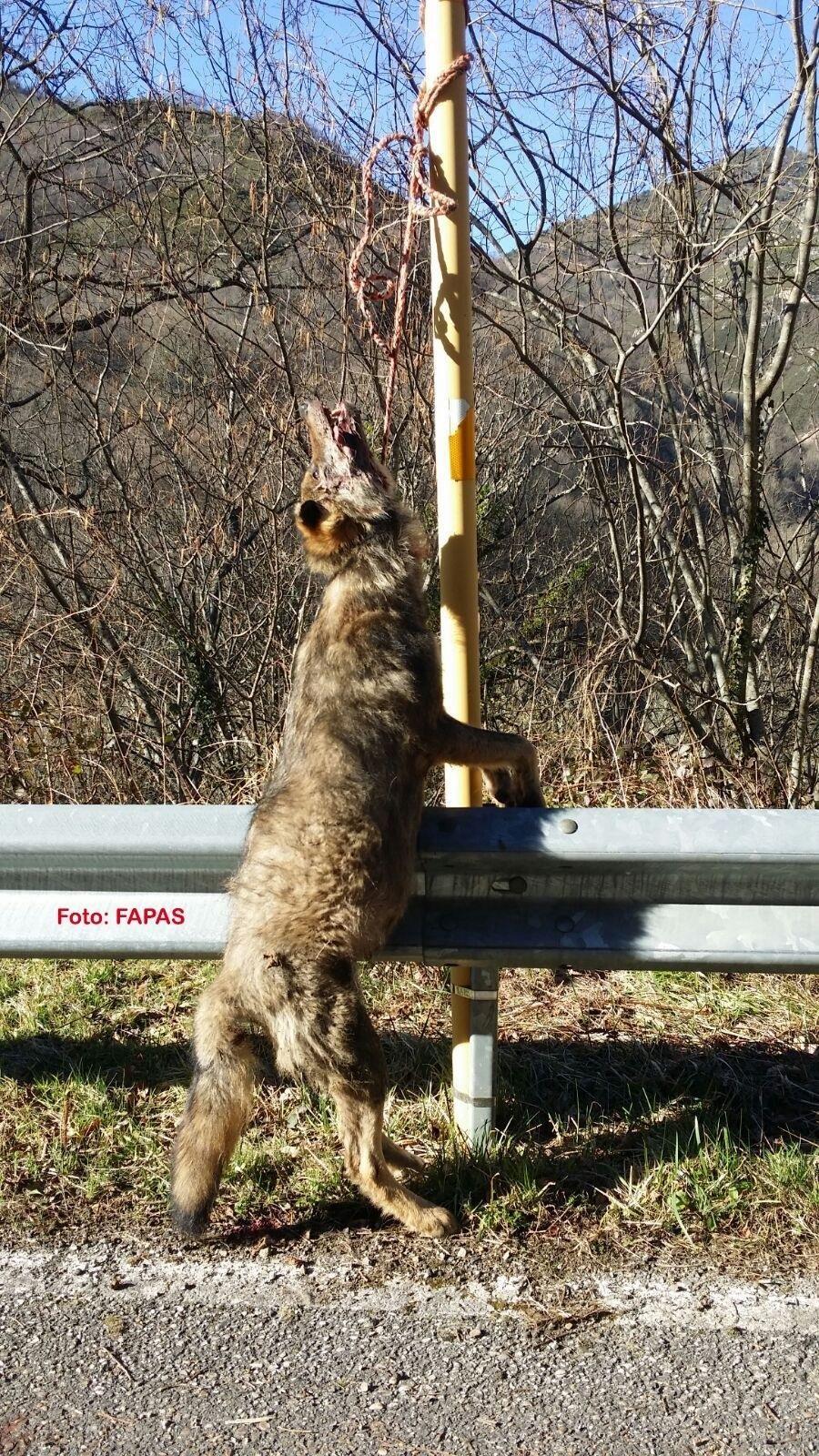 La Fiscalía investiga el hallazgo de 6 lobos muertos en Asturias