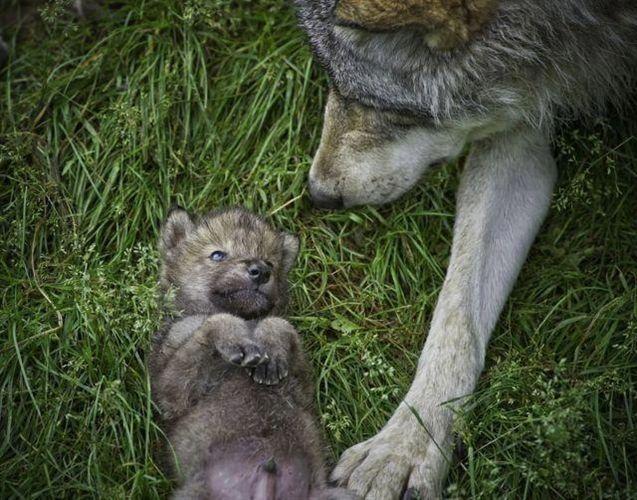 Defensores del lobo solicitan el amparo de la Comisión Europea para proteger al lobo en Asturias