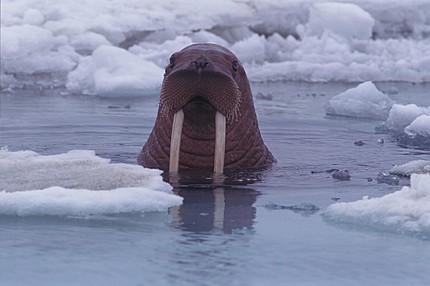 Informe del PNUMA hace un llamado a la cooperación mundial para la conservación de  la diversidad biológica del Ártico