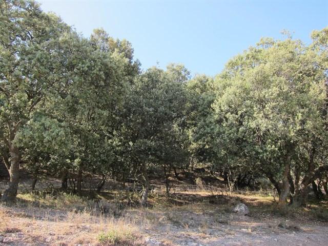 Multa de 50.000 euros por la tala y comercialización de 1.641 encinas en Mallorca