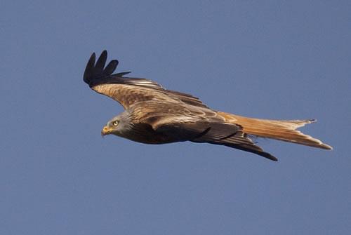 Más de 360 águilas, buitres, milanos y alimoches, envenenados