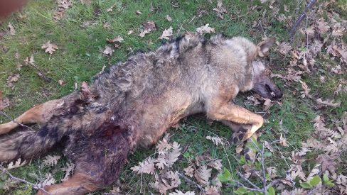 Alerta, un loba asesinada en Segovia