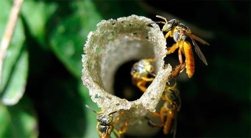 Las abejas sin aguijón cuentan con guardianas para la defensa de sus colmenas