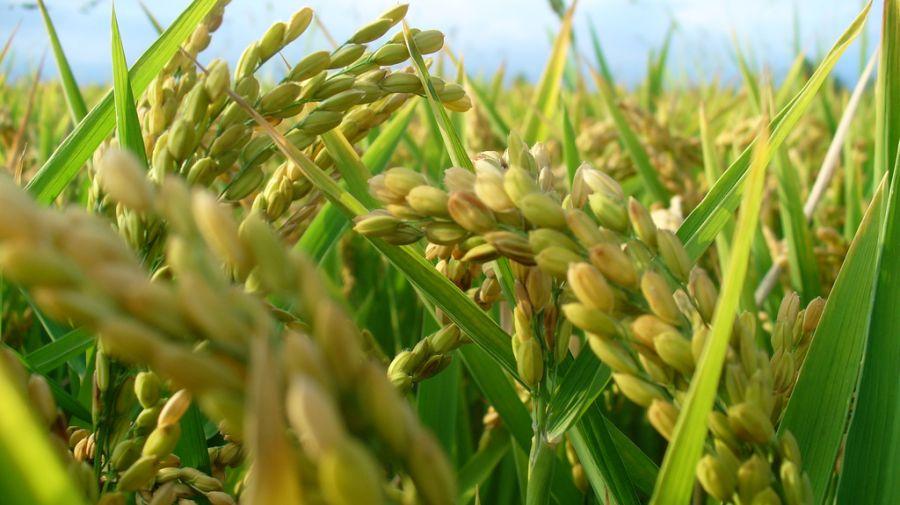 El cambio climático reducirá el rendimiento de los principales cultivos mundiales