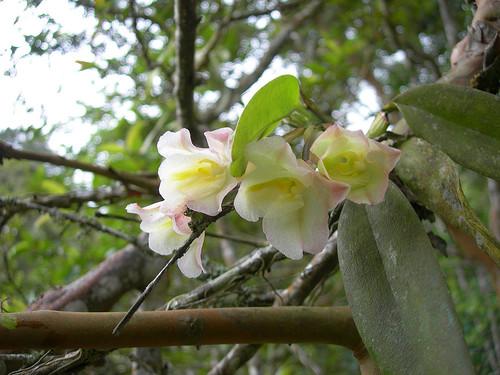 Orquídeas tropicales adaptan sus hojas para buscar la luz