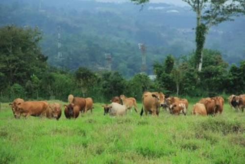 Nicaragua impulsará el desarrollo sostenible del sector ganadero