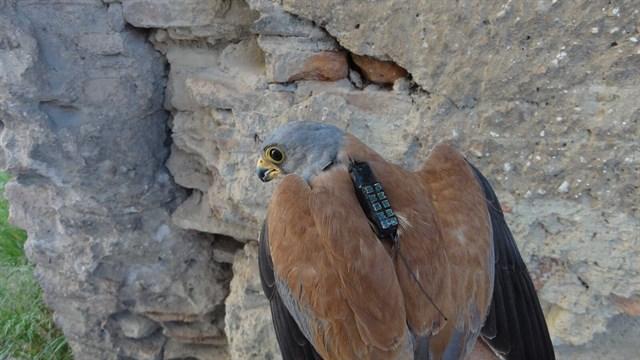 SEO/BirdLife monitoriza con geolocalizadores la migración del cernícalo primilla para mejorar su conservación