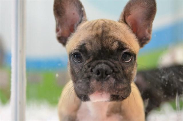 Equo quiere que España se una a la lucha europea contra el tráfico ilegal de cachorros en la UE