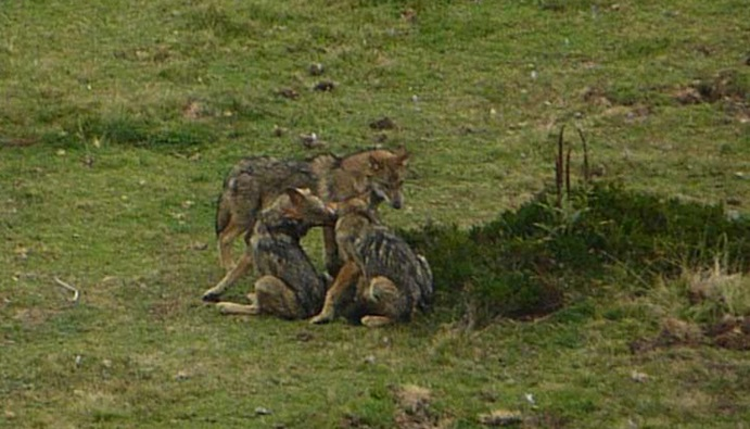 La 'TRAMA' del lobo asturiano