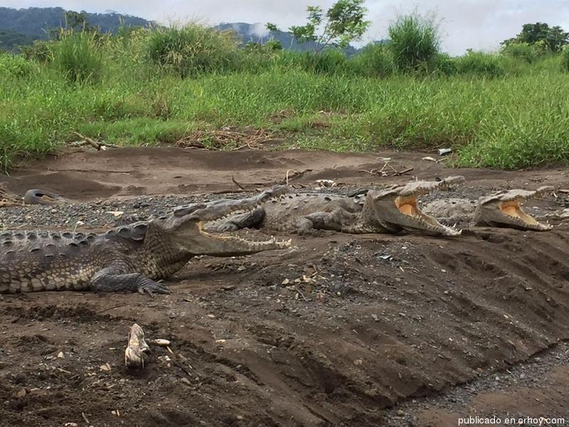 ¿Qué o quién está enfermando a los cocodrilos?