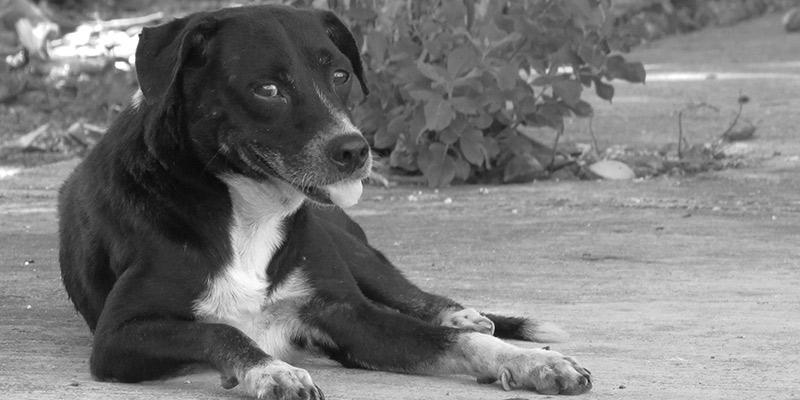 Perros: amigos del hombre, enemigos en la conservación del jaguar y el puma