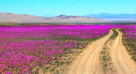 Chile: Lanzan campaña para promover el cuidado y respeto del desierto florido