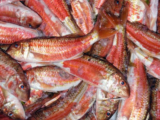 Come 'microplásticos' en las pintarrojas, merluzas o salmonetes