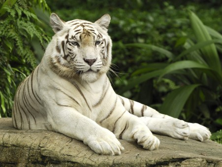 El tigre siberiano 'regresa' a China