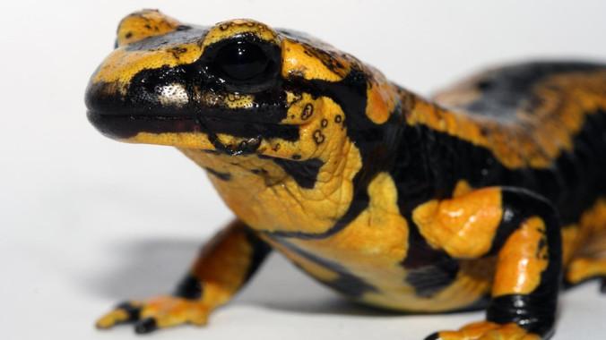El hongo que devora a las salamandras
