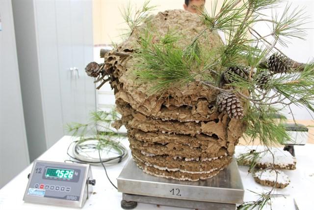 Detectan la presencia de avispa asiática en Valldemossa y Orient