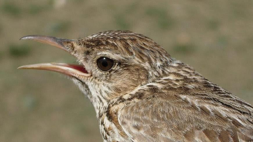 Soria protegerá los hábitats de la alondra ricotí