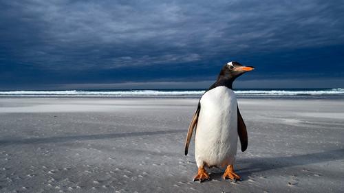 El 55 De Pingüinos Del Mundo En Peligro De Extinción