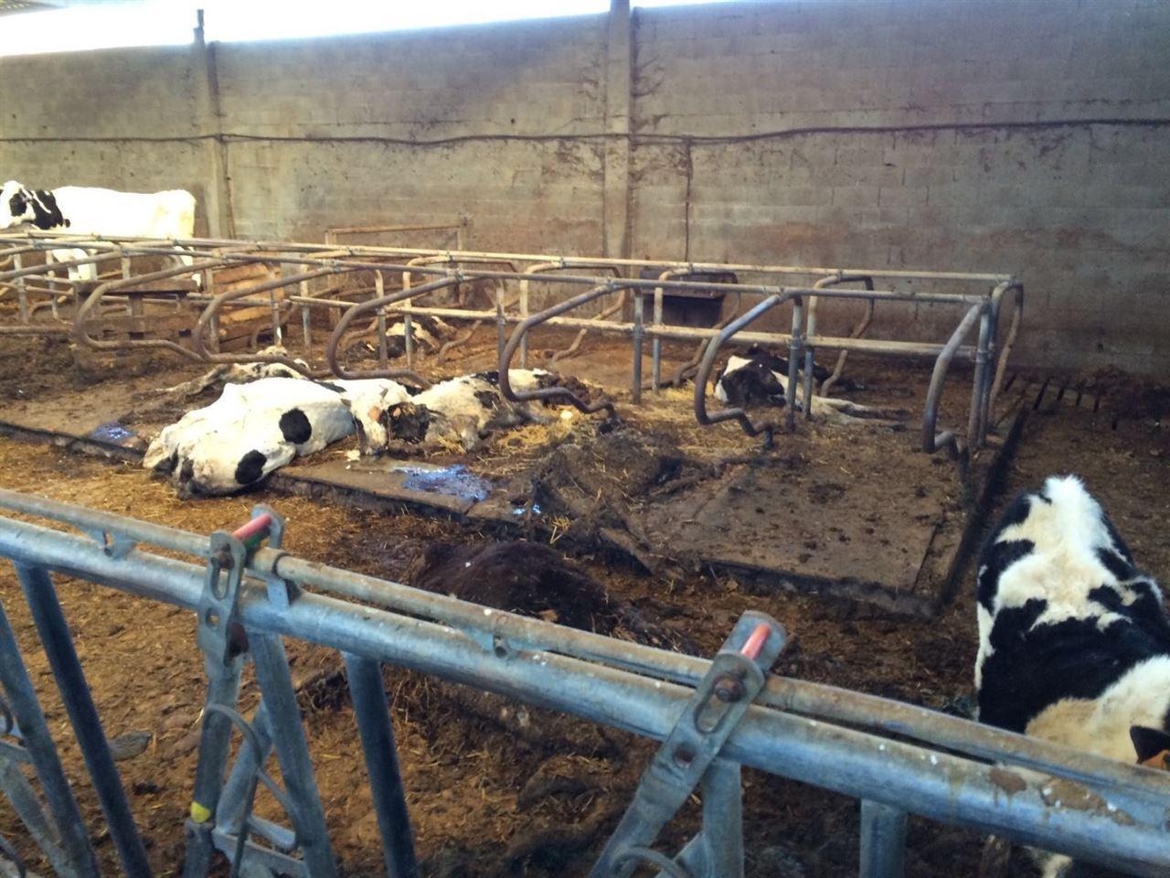 Chantada, 40 vacas muertas, ¿maltrato animal o problemas económicos?
