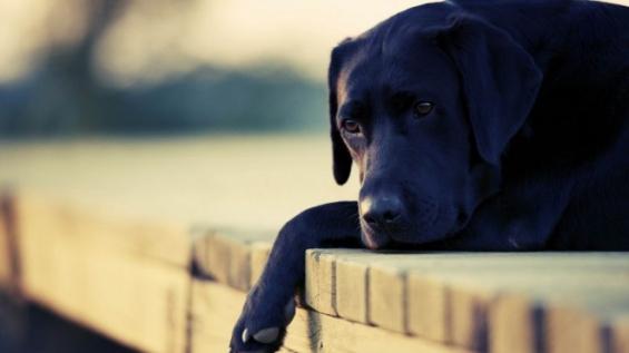 Estados Unidos: Desarrollan un fármaco para que los perros no sufran con los fuegos artificiales