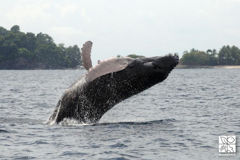 Miambiente fija multas de hasta B/. 10.000 para aquellas personas que hostiguen a las ballenas y delfines