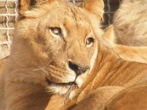 'Canned Hunting' en Sur África