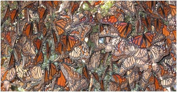 Mariposas monarca peligra su refugio de invierno mexicano
